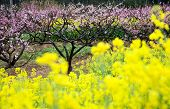 image of cherry-blossom  - pink peach flowers with yellow oilseed rape blossom - JPG