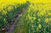 Path through oilseed blossom