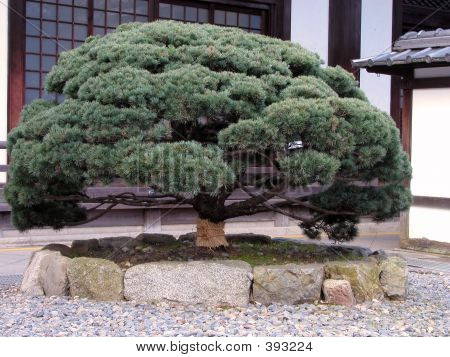 Picture or Photo of Close-up of a japanese pine tree in a temple yard