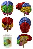 Cérebro humano 3D