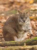 Eating Parma Wallaby