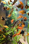 stock photo of school fish  - fish school in aquarium - JPG