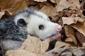 pic of opossum  - A large Virginai opossum bedded down in leaves and showing its teeth - JPG