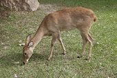 Single Mule Deer (Odocileus hemionus)