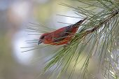 stock photo of crossbill  - Male Red  - JPG