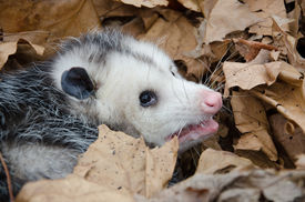 picture of opossum  - A large Virginai opossum bedded down in leaves and showing its teeth - JPG