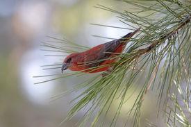 image of crossbill  - Male Red  - JPG