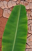 Banana leaf in arid land