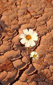 Daisy laying on dried and cracked land