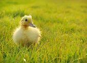Cute little duckling in garden