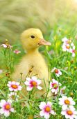 Little young duck on in flowering shrubs