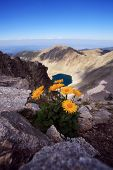 image of blacktail  - vertical landscape with yellow flower in bulgarian Rila mountain - JPG