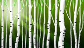 Abstract Birch Stems Background