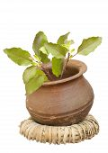 Holy Basil In A Clay Pot On A Wicker Ring Isolated