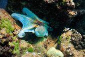 imagen submarina del pulpo