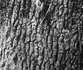 Oak Tree Bark Black And White