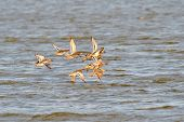 ducks flying over the river (anas querquedula)