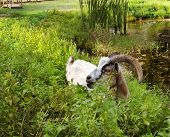 stock photo of billy goat  - A content billy goat with long curly horns standing in a thicket of peppermint takes a pause from his munching to gaze across the farm - JPG