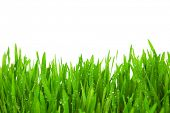 Fresh Green  Grass with Drops Dew / isolated on white with copy space