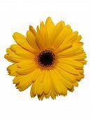 Aislado de la flor de Gerbera amarilla