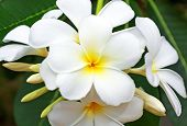 Beautiful White Frangipani Flowers
