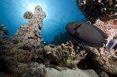 Black Surgeonfish