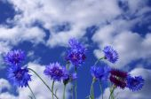 Blue Flowerses