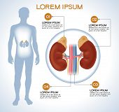 Adrenal. Modern medical infographics. Internal organs in a human body. Anatomy of people