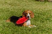 foto of frisbee  - Beagle laying on the grass with a frisbee in his mouth - JPG