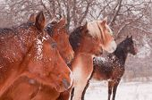 Five horses in a blizzard, all looking to the same direction away from the viewer, focus on the near