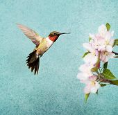 Ruby-throated Hummingbird male hovering next to apple blossoms, on textured background