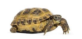 pic of russian tortoise  - Horsfield - JPG