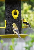 A Pair of Gold Finch