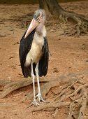 Marabou (Leptoptilos crumeniferus) on the zoo