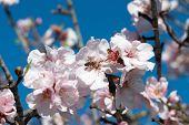Biene auf Machandelbaum Blume