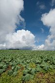 Big Cabbage farm