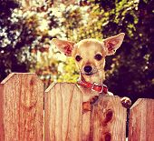a cute chihuahua looking over a fence toned with a retro vintage instagram filter