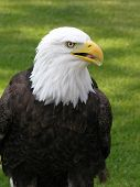 Bald Eagle Looking Right poster