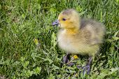 Snacking Gosling
