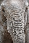 Portrait Of An Asiatic Elephant