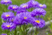 Bunch Of Violet Aster Flowers