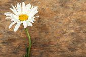Beautiful chamomile on wooden background