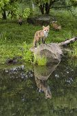 Young Foxes by the River