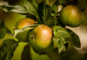 Pearmain apples on tree