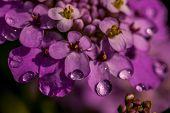 Purple iberis flower