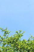 pic of dogwood  - Fresh leaves of dogwood  - JPG