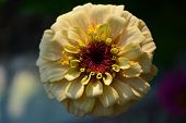 Close up of cream zinnia flower with dramatic light