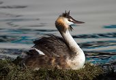 Crested grebe, podiceps cristatus, duck brooding nest