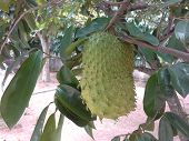 Ripe Soursop fruit hanging from branch of tree