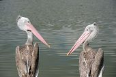 Two Pelican Facing